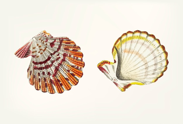 Hand drawn of scallop shell Free Vector