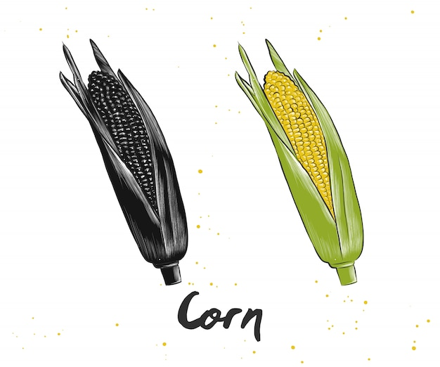 Hand drawn sketch of corn Premium Vector
