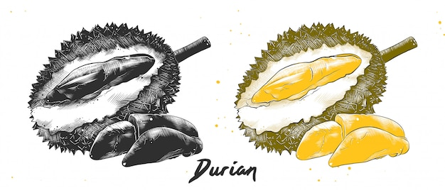 Hand drawn sketch of durian Premium Vector