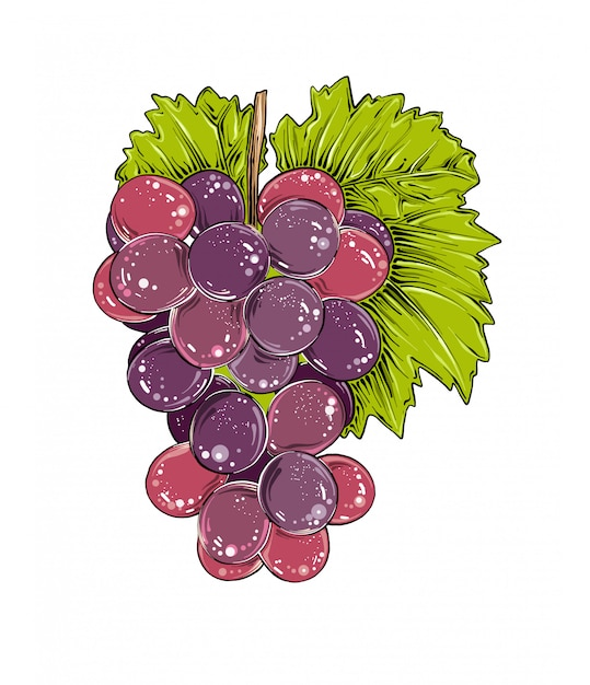 Hand drawn sketch of grapes in color, isolated . Premium Vector
