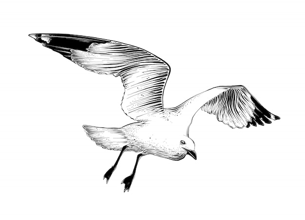 Hand drawn sketch of seagull in black color. isolated . Premium Vector