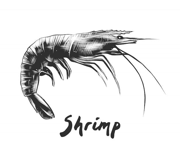 Hand drawn sketch of shrimp in monochrome Premium Vector