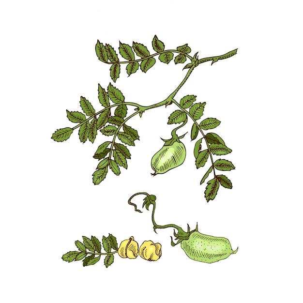 Hand drawn sketch soy, chickpea, bean, lentil plant.  illustration. Premium Vector