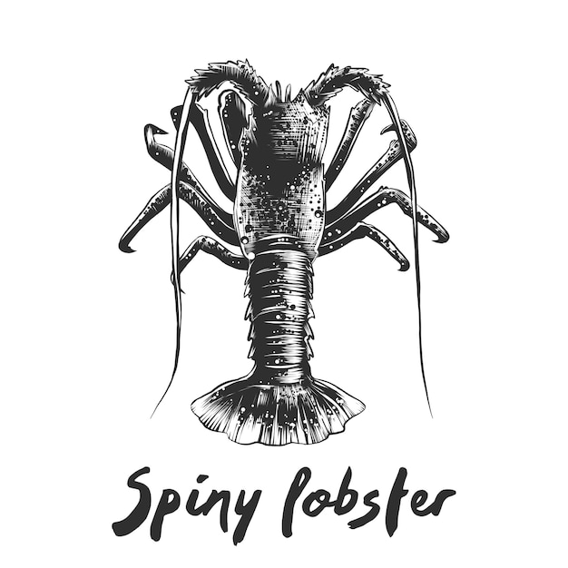 Hand drawn sketch of spiny lobster in monochrome Premium Vector