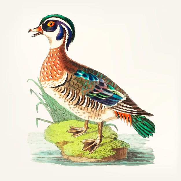 Hand drawn of summer duck Free Vector