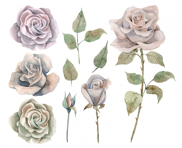Hand drawn watercolor set of vintage roses and leaves Premium Vector