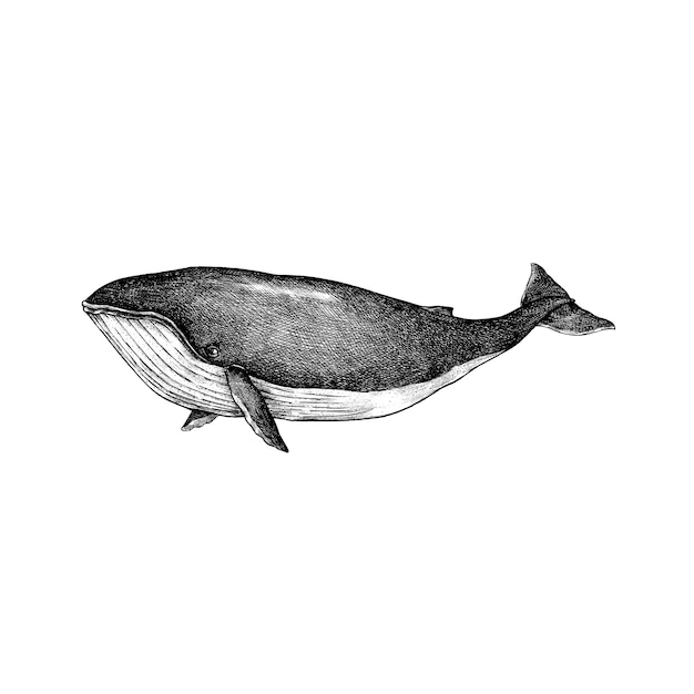 Hand drawn whale isolated on white background Premium Vector