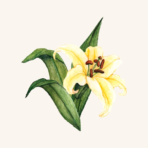 Hand drawn white lily flower isolated Free Vector