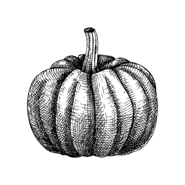 손으로 스케치 호박 그림. Butternut 스쿼시 그리기. 추수 감사절 요소. 가을 수확 축제 스케치. 가을 음식 개요. 할로윈 호박. 프리미엄 벡터