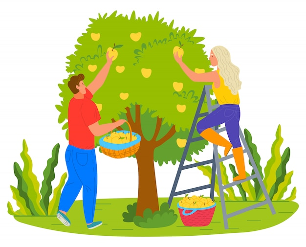 Harvesting farmers man and woman picking pears Premium Vector