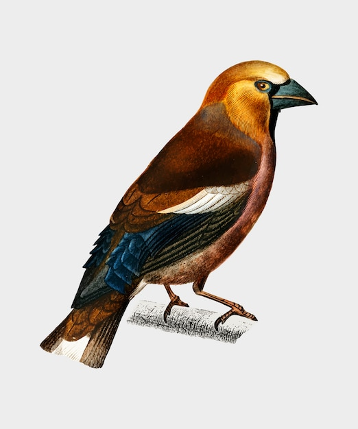 Hawfinch (gros-bec commun) illustrated by charles dessalines d'orbigny (1806-1876). Free Vector