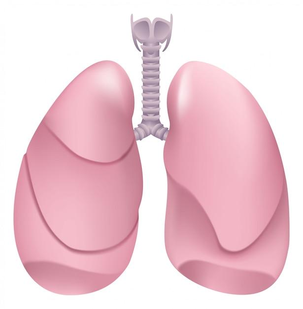 健康な人間の肺。呼吸器系。健康な人の肺、喉頭、気管 Premiumベクター