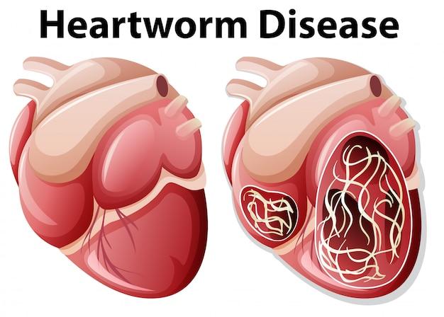 How do dogs get heartworm