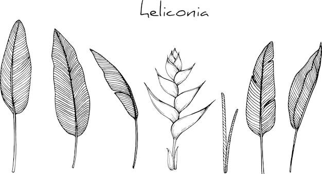 ヘリコニアの花の描画 Premiumベクター