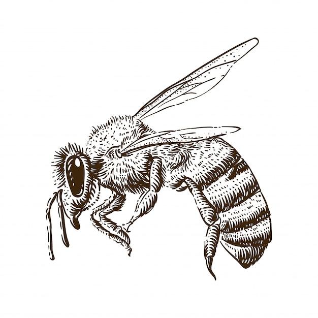Honey bee engraving illustration Premium Vector