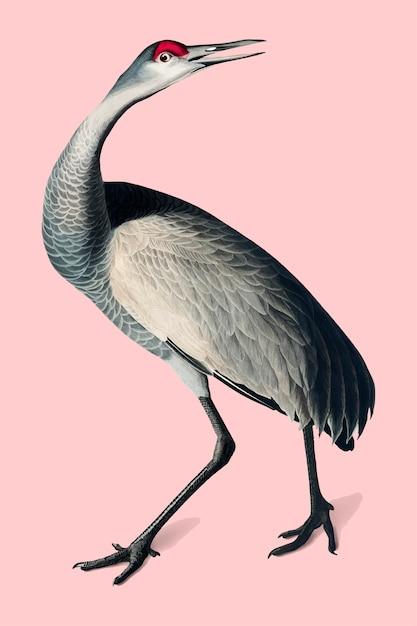 Hooping crane illustration Free Vector