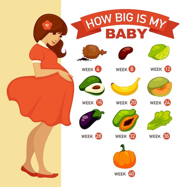 How big is my baby. pregnancy infographic concept illustration. Premium Vector