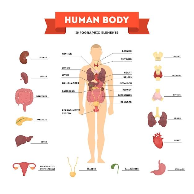 Концепция анатомии человека. мужское тело с набором внутреннего органа Premium векторы
