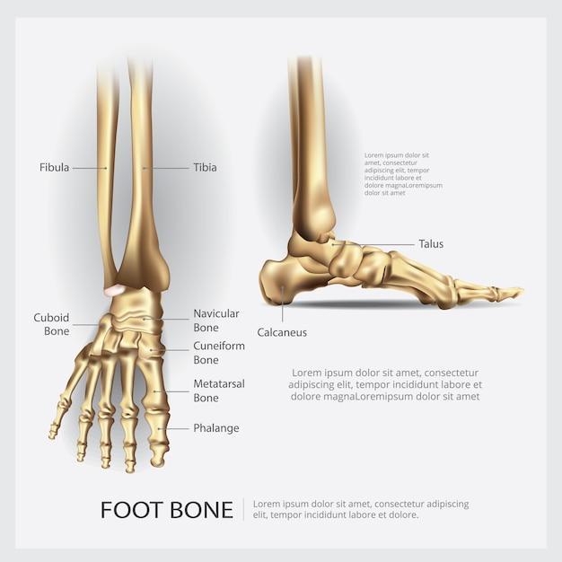 Human Anatomy Foot Bone Vector Illustration Vector Premium Download