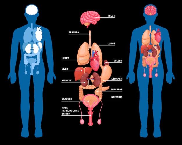 Human anatomy internal organs layout Free Vector