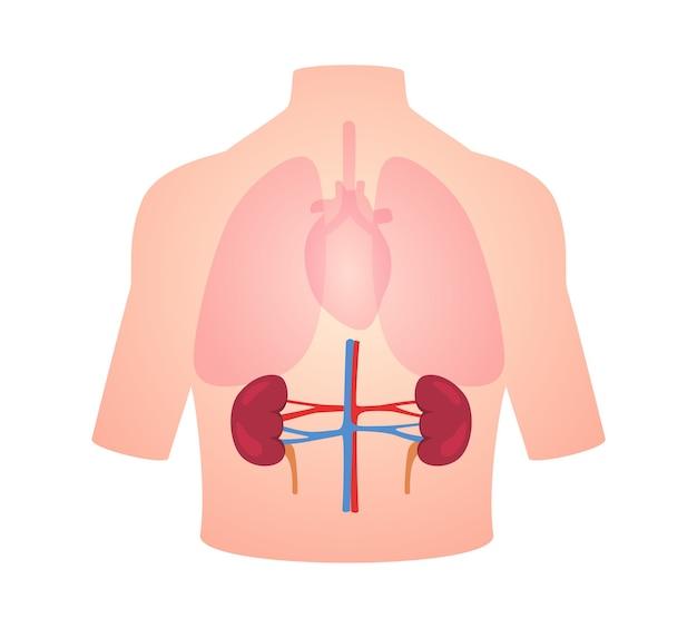 Положение почек органа анатомии человека в теле легкое сердце прозрачный Premium векторы