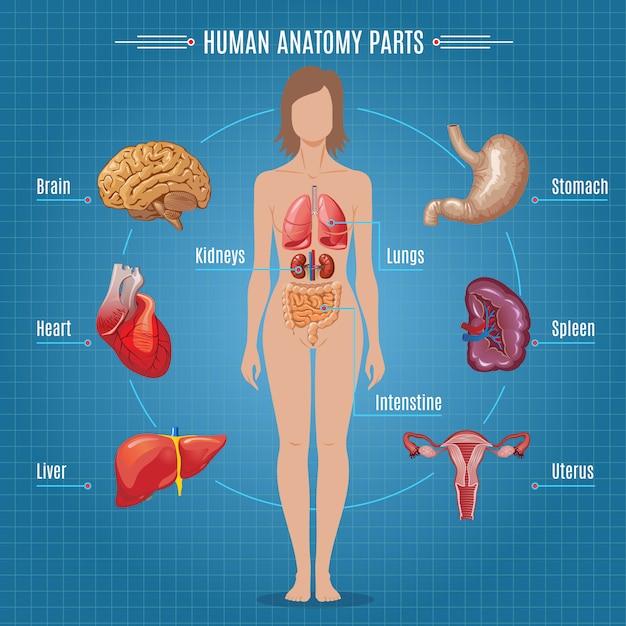 Концепция инфографики частей анатомии человека Бесплатные векторы