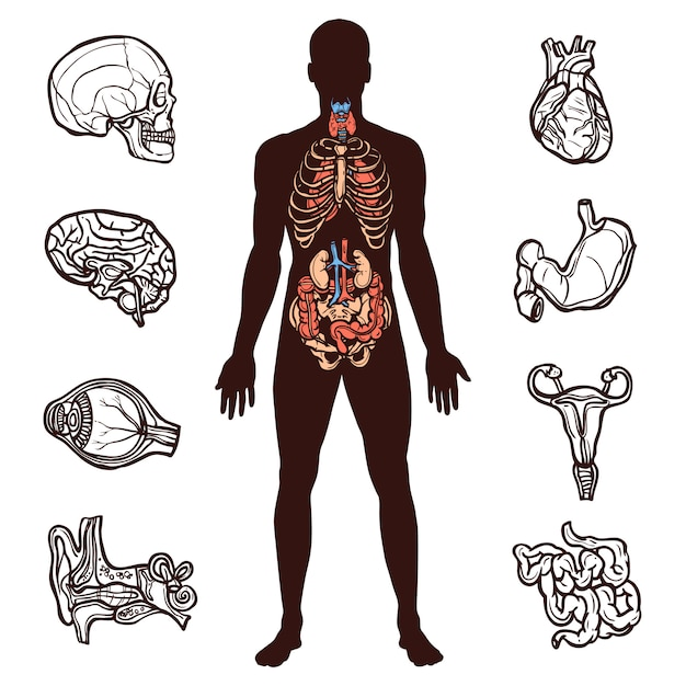 Human anatomy set Free Vector