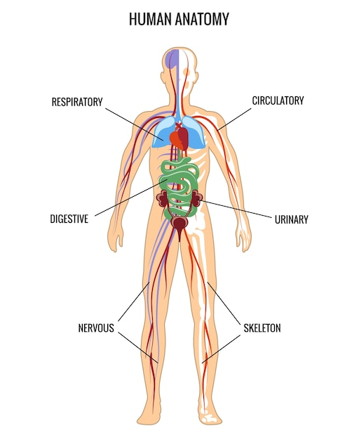 Human anatomy. urinary and digestive, skeleton and respiratory, nervous. Free Vector