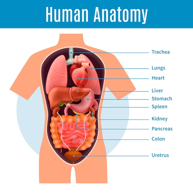 Human anatomy with body organs names realistic illustration Free Vector