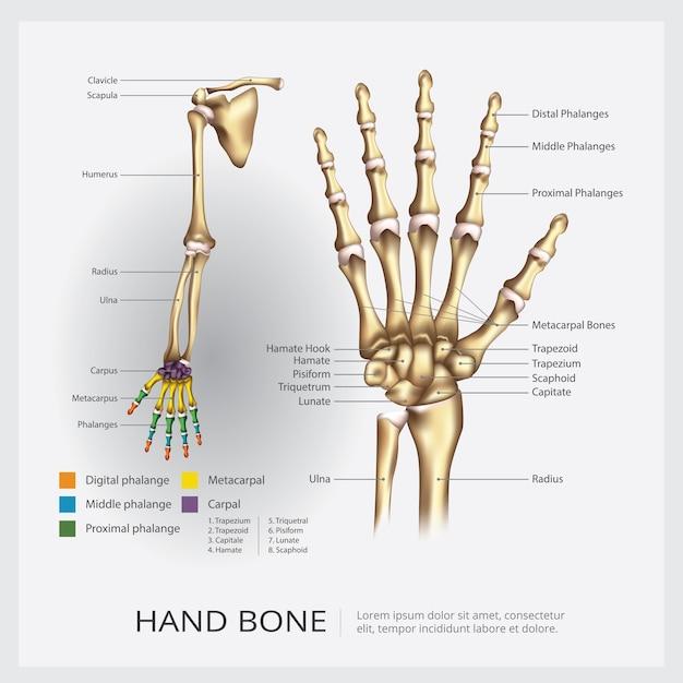 Человеческая рука и кисть кости векторные иллюстрации Бесплатные векторы