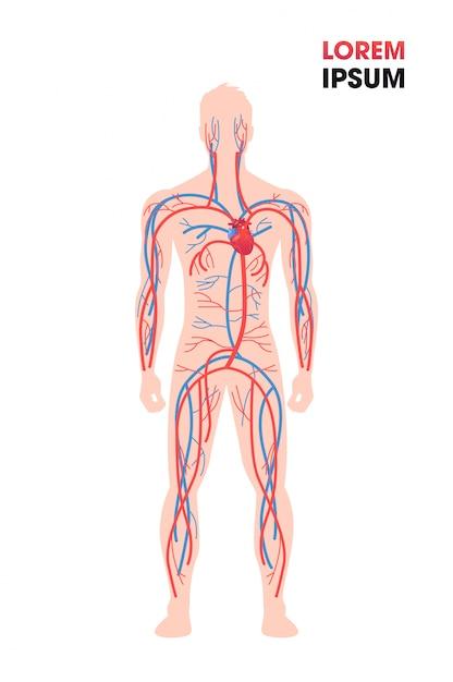 인간의 동맥 정맥 순환계 혈관 의료 포스터 전체 길이 평평한 수직 복사 공간 프리미엄 벡터