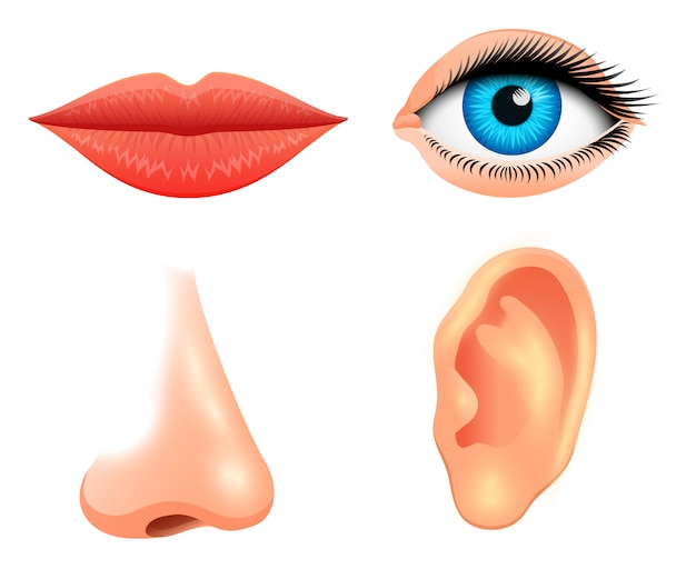 Human biology, sensory organs, anatomy illustration. face detailed kiss or lips, nose and ear, eye or view. set medical science or healthy man. vision, hearing, taste, smell, touch, look, europeoid. Premium Vector