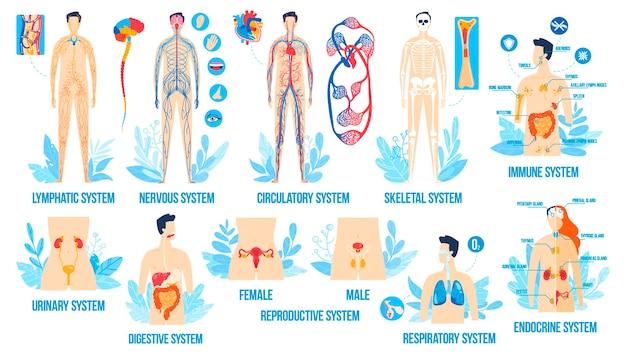 인체 해부학, 기관 시스템 벡터 일러스트 레이 션 세트, 만화 평면 내부 호흡 생식 림프 내분비 프리미엄 벡터