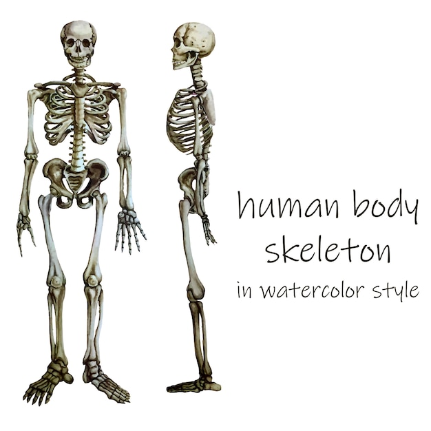 Human body skeleton in water color style. Premium Vector