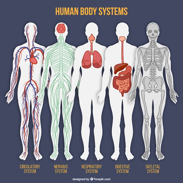 Human body system collection Free Vector