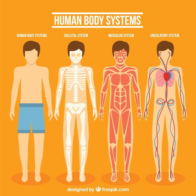 Human body system collection Vector | Free Download