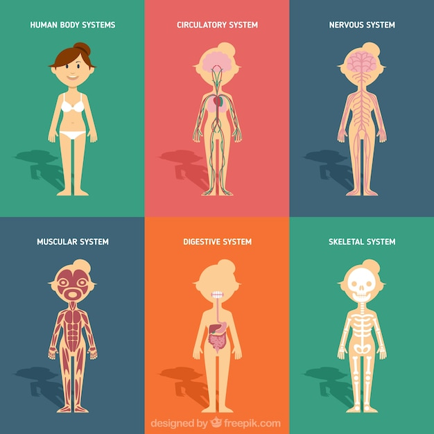 human body systems in flat design vector | premium download, Human Body