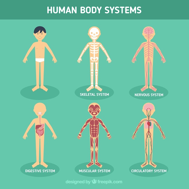 human body systems vector | free download, Human Body