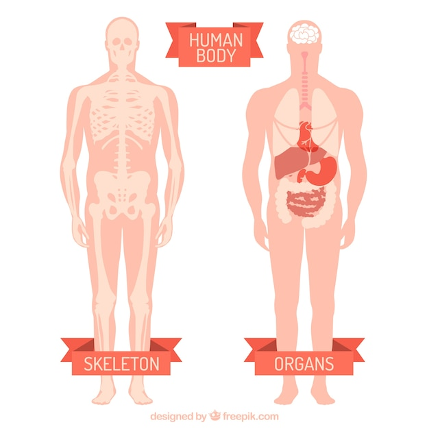 Human Body Vector Free Download