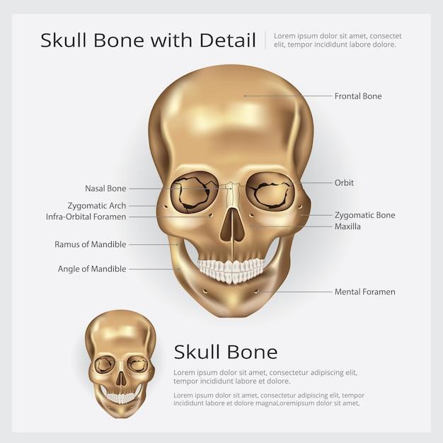 Human Bone Skull Anatomy Illustration Vector Premium Download