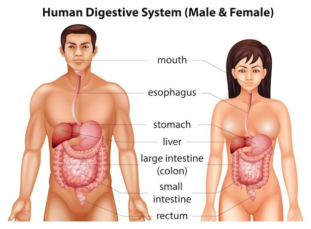 Human digestive system Premium Vector