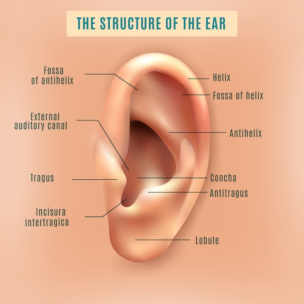 Human ear structure medical background poster Free Vector
