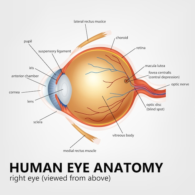 Human Eye Anatomy Right Eye Viewed From Above Vector Premium Download