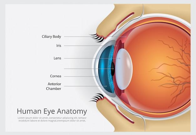 人間の目の解剖学のベクトル図 無料ベクター