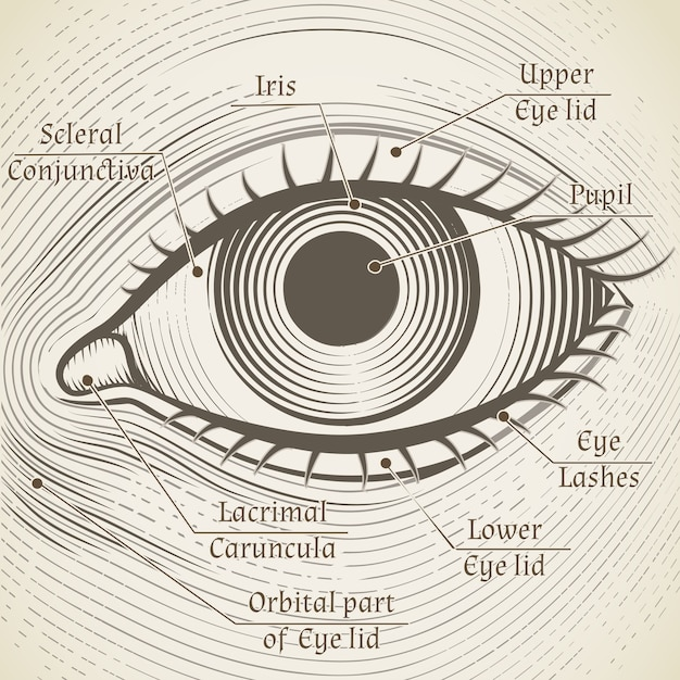 Human eye etching with captions. cornea, iris and pupil. name parts of the eye for books, encyclopedias Free Vector
