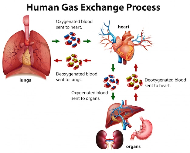 Human gas exchange process diagram vector free download human gas exchange process diagram free vector ccuart Gallery