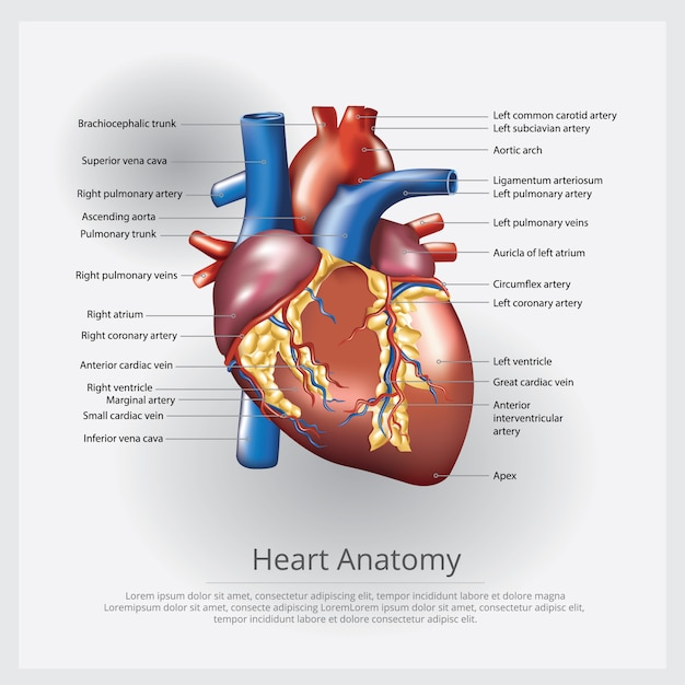 Human heart anatomy illustration Free Vector