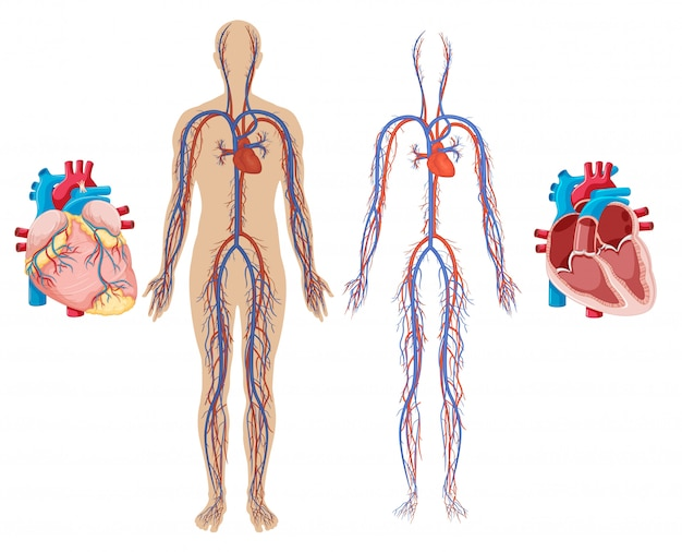인간의 심장 및 심혈관 시스템 프리미엄 벡터