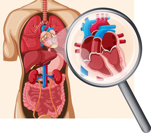 인간의 심장과 순환계 프리미엄 벡터