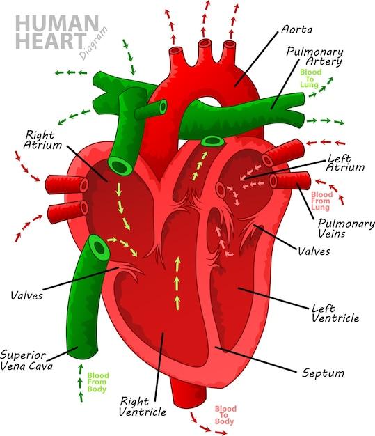 Premium Vector | Human heart diagram anatomy